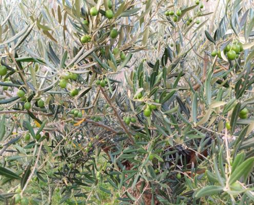Oljka Olive Oil Bliss Intiniti